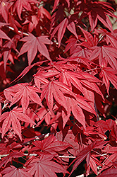 Emperor I Japanese Maple (Acer palmatum 'Wolff') at Randy's Perennials