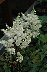 Younique White™ Astilbe (Astilbe 'Verswhite') at Randy's Perennials