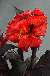 Tropical Bronze Scarlet Canna (Canna 'Tropical Bronze Scarlet') at Randy's Perennials