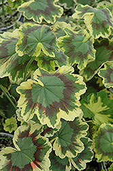 Tricolor Geranium (Pelargonium 'Tricolor') at Randy's Perennials