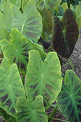 Illustris Elephant Ear (Colocasia esculenta 'Illustris') at Randy's Perennials