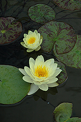 Marliacea Chromatella Hardy Water Lily (Nymphaea 'Marliacea Chromatella') at Randy's Perennials