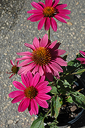 PowWow Wild Berry Coneflower (Echinacea purpurea 'PowWow Wild Berry') at Randy's Perennials