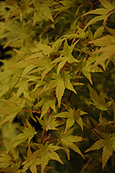 Ryusen Japanese Maple (Acer palmatum 'Ryusen') at Randy's Perennials