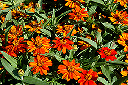 Profusion Orange Zinnia (Zinnia 'Profusion Orange') at Randy's Perennials