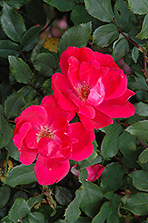 Red Knock Out® Rose (Rosa 'Red Knock Out') at Randy's Perennials