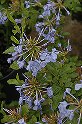 Imperial Blue Plumbago (Plumbago auriculata 'Imperial Blue') at Randy's Perennials