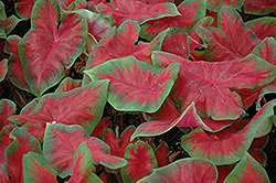 Frieda Hemple Caladium (Caladium 'Frieda Hemple') at Randy's Perennials