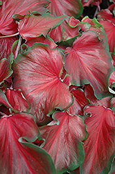 Red Frill Caladium (Caladium 'Red Frill') at Randy's Perennials