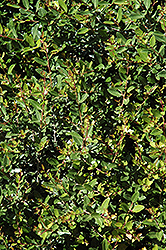 Dwarf Yaupon Holly (Ilex vomitoria 'Nana') at Randy's Perennials