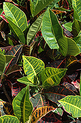 Variegated Croton (Codiaeum variegatum) at Randy's Perennials