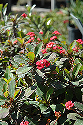 Crown Of Thorns (Euphorbia milii) at Randy's Perennials
