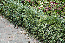 Snake's Beard (Ophiopogon japonicus) at Randy's Perennials