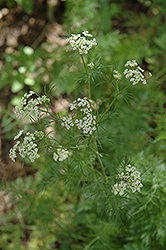 Caraway (Carum carvi) at Randy's Perennials