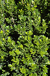 Baby Gem™ Boxwood (Buxus microphylla 'Gregem') at Randy's Perennials
