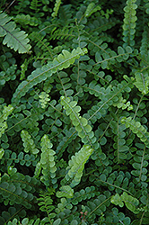 Sword Fern (Nephrolepis cordifolia) at Randy's Perennials
