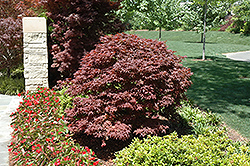 Rhode Island Red Japanese Maple (Acer palmatum 'Rhode Island Red') at Randy's Perennials