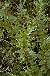 Beech Fern (Thelypteris decursive-pinnata) at Randy's Perennials