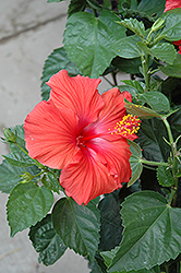 President Hibiscus (Hibiscus rosa-sinensis 'President') at Randy's Perennials