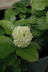 Grand Duke Gardenia (Gardenia jasminoides 'Grand Duke') at Randy's Perennials