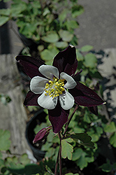 Colorado Violet and White Columbine (Aquilegia 'Colorado Violet and White') at Randy's Perennials