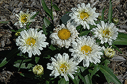 Freak! Shasta Daisy (Leucanthemum x superbum 'Freak!') at Randy's Perennials