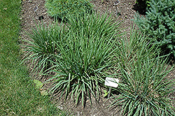 Purple Lovegrass (Eragrostis spectabilis) at Randy's Perennials