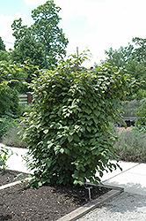 Red Beauty Kiwi (Actinidia kolomikta 'Red Beauty') at Randy's Perennials