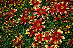 Route 66 Tickseed (Coreopsis verticillata 'Route 66') at Randy's Perennials