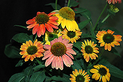 Cheyenne Spirit Coneflower (Echinacea 'Cheyenne Spirit') at Randy's Perennials
