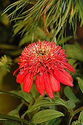 Double Scoop™ Cranberry Coneflower (Echinacea 'Balscanery') at Randy's Perennials
