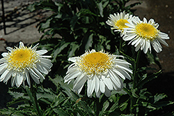 Real Glory Shasta Daisy (Leucanthemum x superbum 'Real Glory') at Randy's Perennials