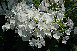 White Flame Garden Phlox (Phlox paniculata 'White Flame') at Randy's Perennials