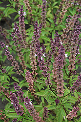 Thai Basil (Ocimum basilicum 'Thai') at Randy's Perennials