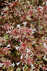 Sunshine Daydream Abelia (Abelia x grandiflora 'Abelops') at Randy's Perennials