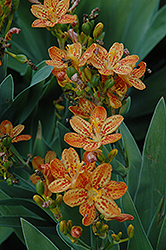 Freckle Face Blackberry Lily (Iris domestica 'Freckle Face') at Randy's Perennials