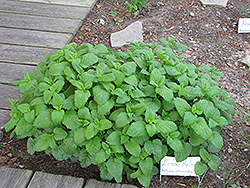Lemon Balm (Melissa officinalis) at Randy's Perennials