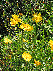 Lanceleaf Tickseed (Coreopsis lanceolata) at Randy's Perennials