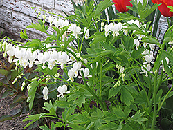 White Bleeding Heart (Dicentra spectabilis 'Alba') at Randy's Perennials