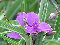 Concord Grape Spiderwort (Tradescantia x andersoniana 'Concord Grape') at Randy's Perennials