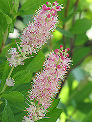 Ruby Spice Summersweet (Clethra alnifolia 'Ruby Spice') at Randy's Perennials