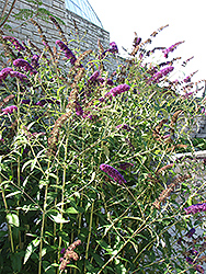 Black Knight Butterfly Bush (Buddleia davidii 'Black Knight') at Randy's Perennials