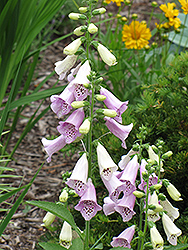 Foxy Foxglove (Digitalis purpurea 'Foxy') at Randy's Perennials