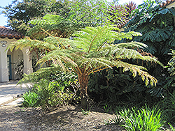 Australian Tree Fern (Cyathea cooperi) at Randy's Perennials