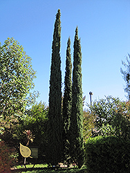 Italian Cypress (Cupressus sempervirens) at Randy's Perennials