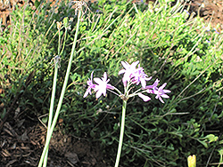 Society Garlic (Tulbaghia violacea) at Randy's Perennials