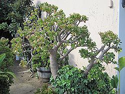 Jade Plant (Crassula ovata) at Randy's Perennials
