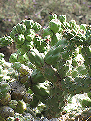 Cholla Cactus (Opuntia cholla) at Randy's Perennials