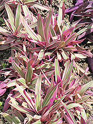 Variegated Moses In The Cradle (Tradescantia spathacea 'Variegata') at Randy's Perennials