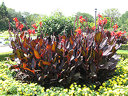 Red King Humbert Canna (Canna 'Red King Humbert') at Randy's Perennials
